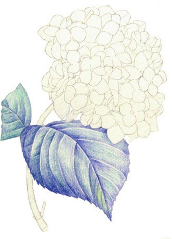 水粉画绣球花的绘画步骤五