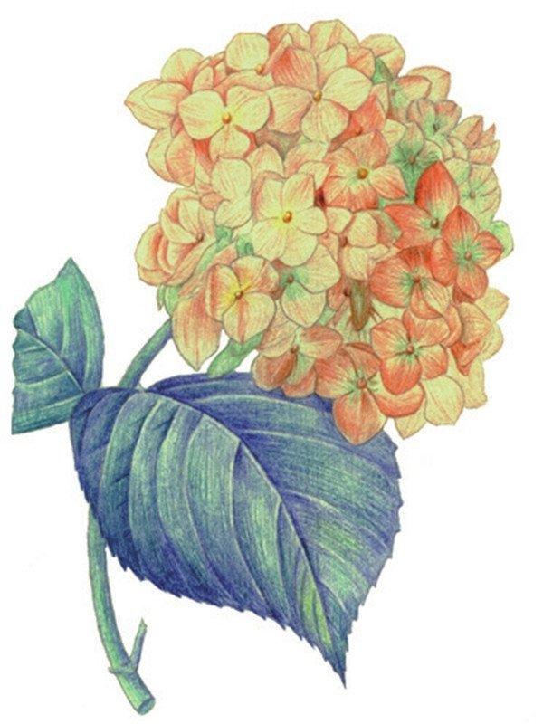 水粉画绣球花的绘画步骤八
