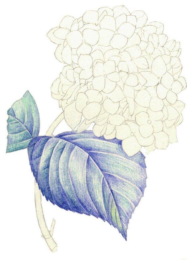 水粉画绣球花的绘画步骤三 3、使用蓝色顺着叶脉的方向为叶子上一层淡淡的颜色。  水粉画绣球花的绘画步骤四 4、综合绿色和绿色为叶子填充基本的底色。表现出叶子的明暗关系。  水粉画绣球花的绘画步骤五 5、使用同样的颜色,为左边的叶子上色。注意左右两片叶子的虚实关系。  水粉画绣球花的绘画步骤六 6、为花茎上色,使用颜色为绿色和绿色。  水粉画绣球花的绘画步骤七 7、使用红色和红色从花瓣的暗部开始上色。同时加深叶子暗部颜色。 【说一说】绘制叶子时,暗部要加深,叶脉处要留高光。