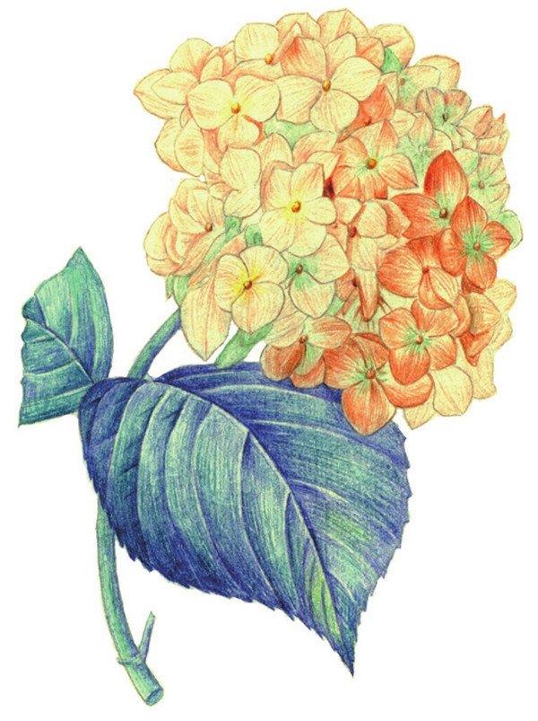 水粉画绣球花的绘画步骤九