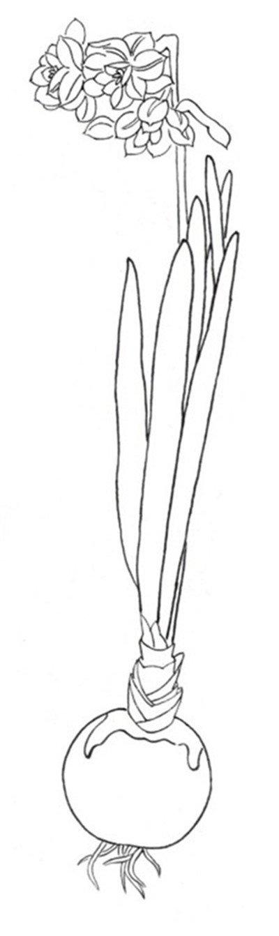白描水仙的绘画步骤(3)