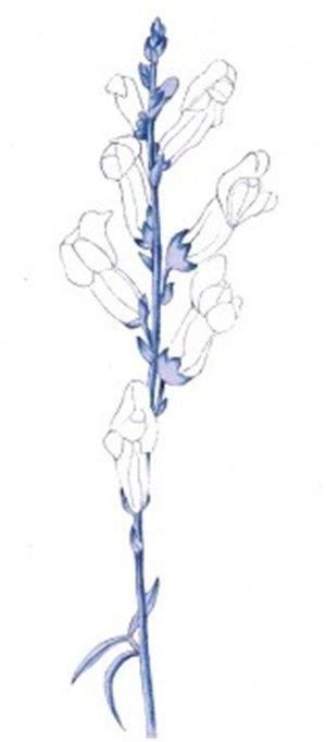 水粉金鱼草绘画步骤三