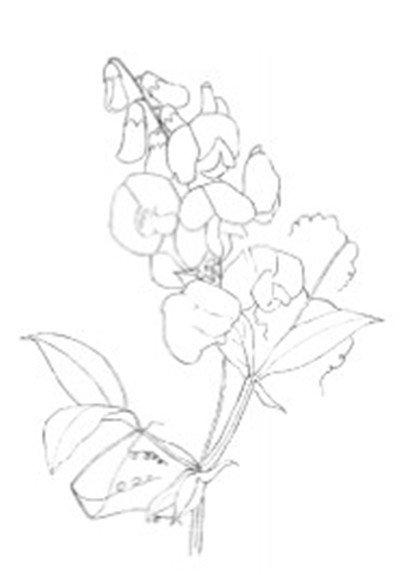 水粉画豌豆花绘画步骤二