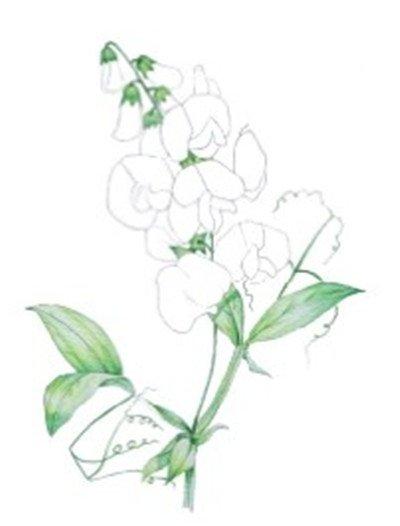 水粉画 豌豆 水粉