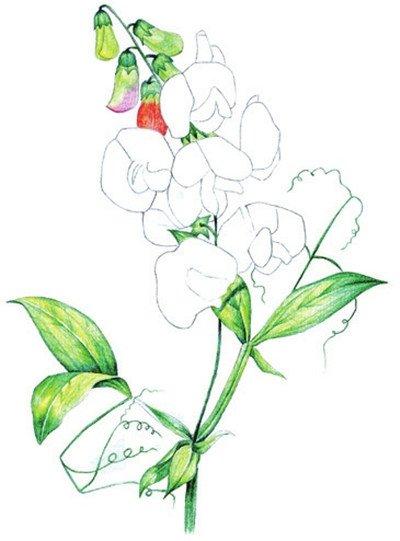 将线稿完善 水粉画豌豆花绘画步骤三 3,为叶子上基本色 水粉画豌豆花