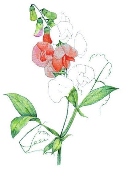 水粉画豌豆花绘画步骤五