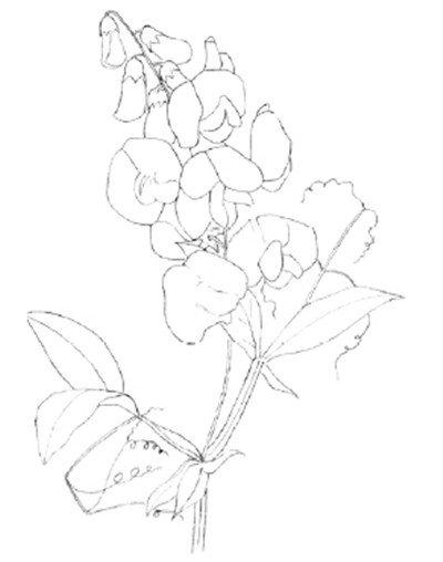 水粉画豌豆花绘画步骤三