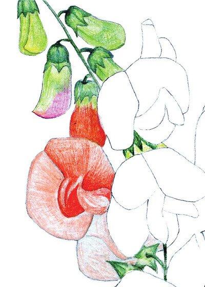 水粉画 豌豆 花朵 水粉