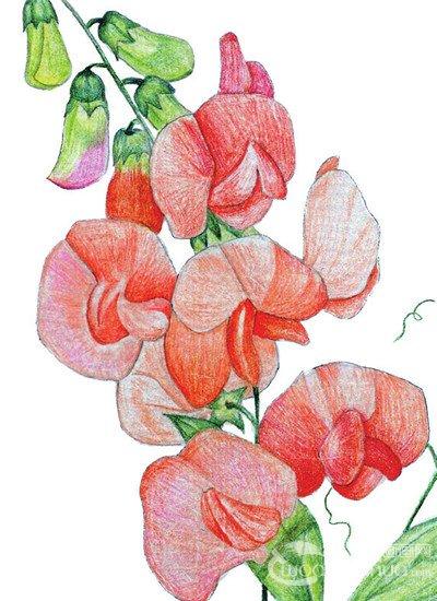 水粉花卉画图片-水粉豌豆花的绘画技法 6图片