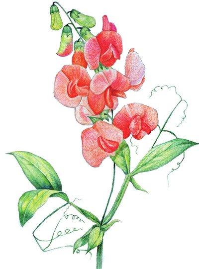 水粉画豌豆花绘画步骤十