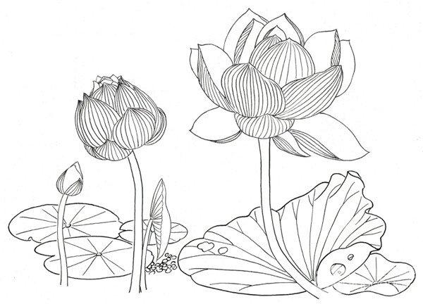 白描荷花的绘画教程(6)