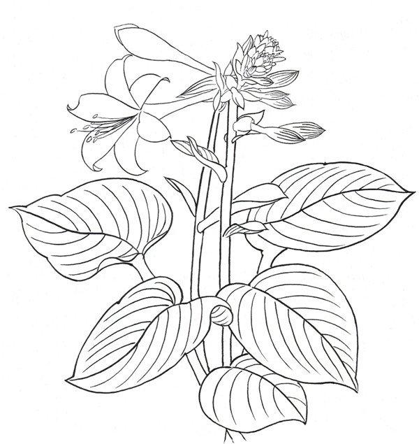 白描玉簪花的绘画步骤(3)