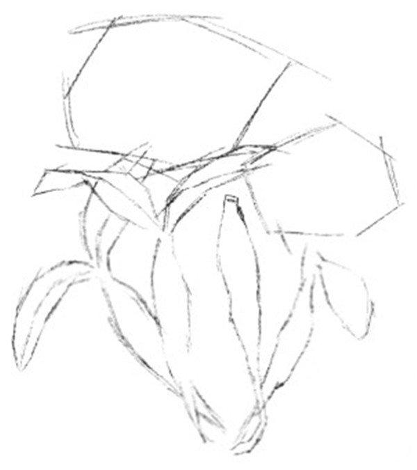 水粉画石斛兰绘画步骤一 1、使用铅笔勾勒出石斛兰的大致外形。  水粉画石斛兰绘画步骤二 2、根据基本轮廓勾画出花儿的线稿外形,特别要注意花朵的外形特征。  水粉画石斛兰绘画步骤三 3、线稿完成后用橡皮轻轻将铅笔颜色擦淡,以方便用彩色铅笔上色。