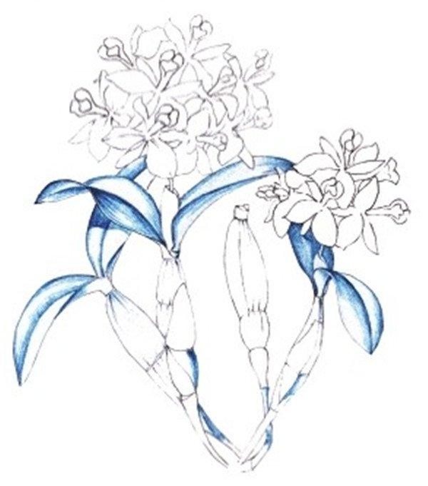 水粉画石斛兰绘画步骤四 4、选择绿色根据叶子的纹理为它铺上一层基本色,注意从叶子的暗部开始画。  水粉画石斛兰绘画步骤五 5、使用绿色为叶子叠加一层色,使叶子色彩丰富起来。  水粉画石斛兰绘画步骤六 6、绘制茎部颜色,用黄绿色按照茎的纹理走向绘制亮部颜色,使用绿色进行过渡,融合画面,用绿色将暗部暗下去,使花茎更有立体感。  水粉画石斛兰绘画步骤七 7、使用棕色为石斛兰画上一层淡淡的颜色,作为底色。  水粉画石斛兰绘画步骤八 8、使用棕色绘制茎部的斑纹,描绘斑纹的时候,注意各个斑纹的虚实关系,尽量不要描得