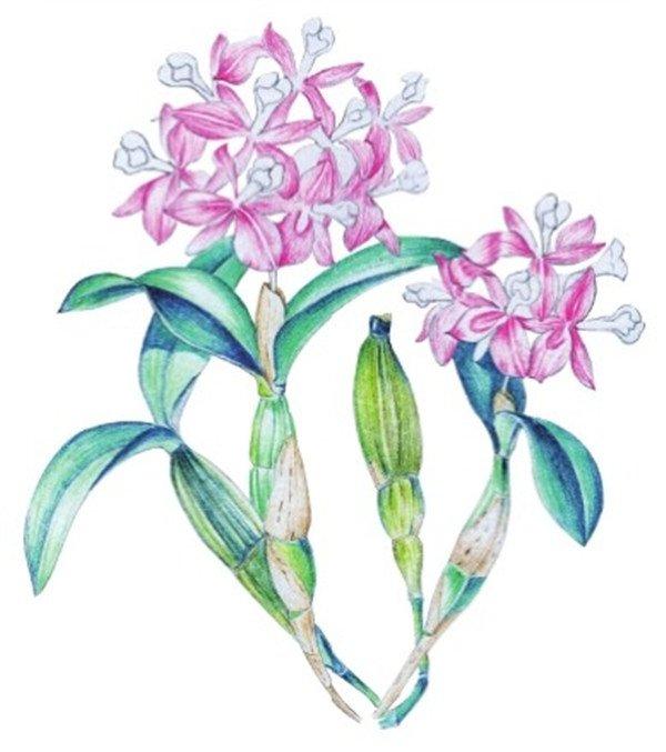 水粉画石斛兰绘画步骤九 9、绘制花瓣基本色,为红色。按照纹理涂抹的时候不要画得太重,亮部留白。  水粉画石斛兰绘画步骤十 10 、使用同样的颜色,将右边的花朵绘制完成,再使用绿色加深叶子暗部颜色。  水粉画石斛兰绘画步骤十一 11、使用红色,深入刻画花瓣颜色。注意要用较细的彩色铅笔。 【说一说】花瓣中间的花脉需要留白。