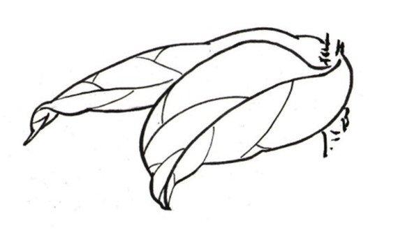学画画 国画教程 工笔画 > 白描芍药的绘画步骤(2)      4,组合叶子的