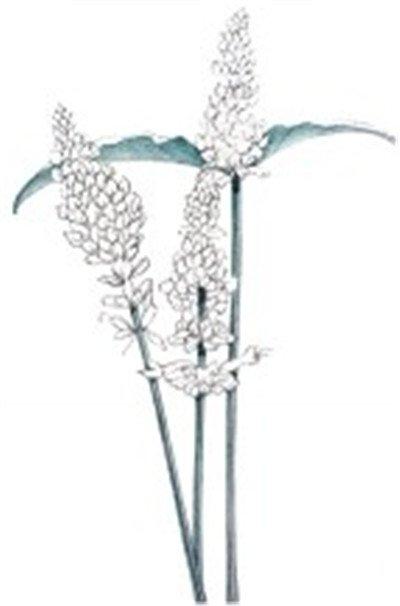 > 水粉薰衣草的绘画步骤      薰衣草,唇形科薰衣草属,原产于地中海