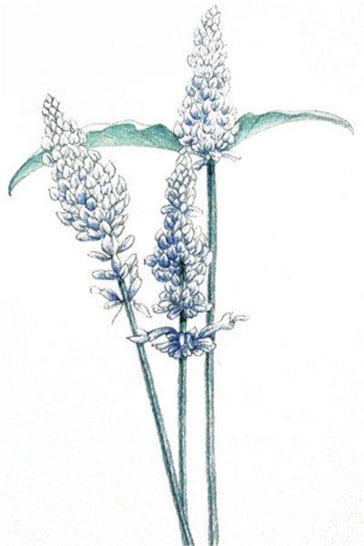 水粉薰衣草的绘画步骤(2)