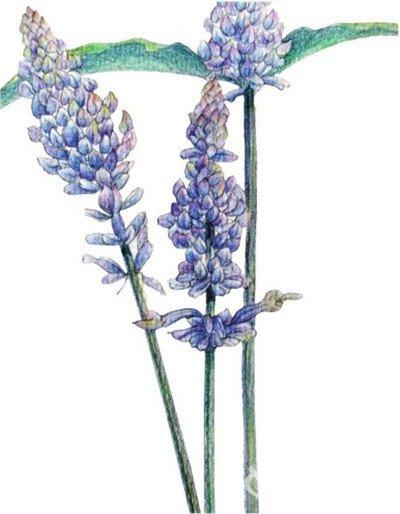 水粉薰衣草的绘画步骤(5)