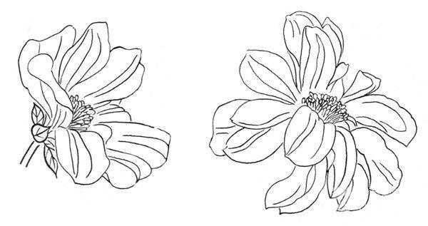 白描大丽花朵教程