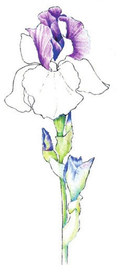 彩铅鸢尾花的绘画步骤五