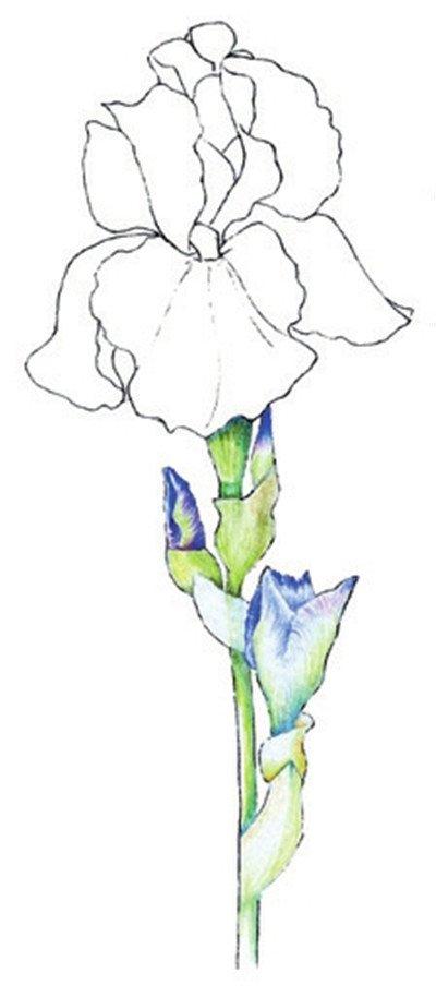 彩铅鸢尾花的绘画步骤四