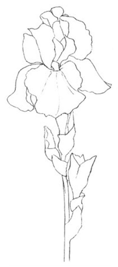 彩铅鸢尾花的绘画技法(4)