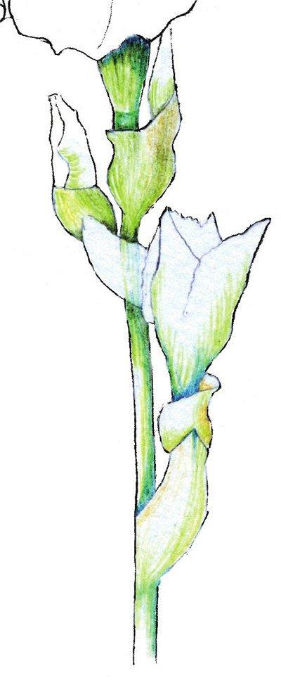 彩铅鸢尾花的绘画步骤三