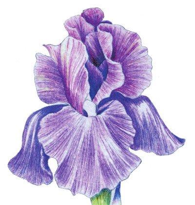 彩铅鸢尾花的绘画技法(7)