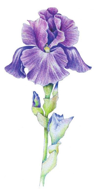 彩铅鸢尾花的绘画技法(8)