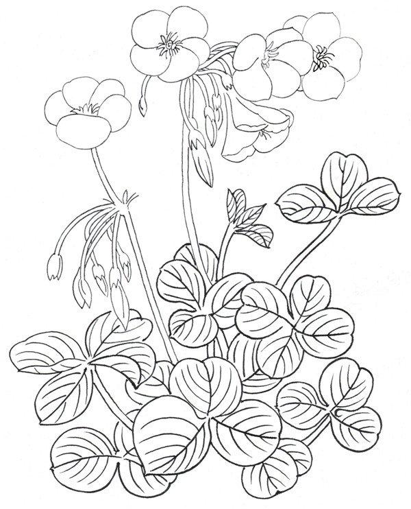 白描酢浆草局部七 7、叶子的组合 二、酢浆草白描技法  酢浆草白描 清新可爱的酢浆草,花瓣和叶子的外形都呈圆形,底部叶子的用线要稍微粗一些,并画出叶子的层叠关系,枝头上的花用线要细一些,表现出花朵的特征。