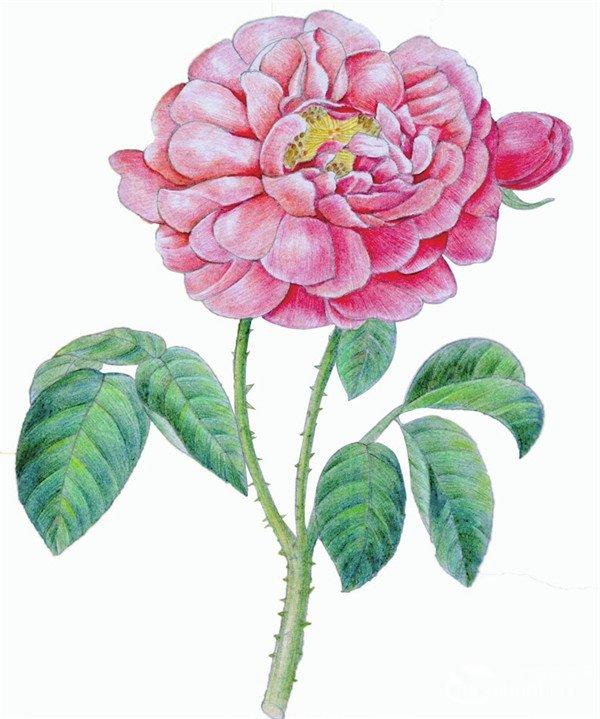 水粉画玫瑰绘画步骤十 10、用绿色以同样的方式画出叶子和茎杆的质感,不用特意为叶脉的受光面上色,叶片的光泽需要留出来。  水粉画玫瑰绘画步骤十一 11、使用黄绿色和黄色调整整体画面,并绘制出茎部的刺。水粉画玫瑰上色的时候要顺着叶脉的方向为叶子上色。