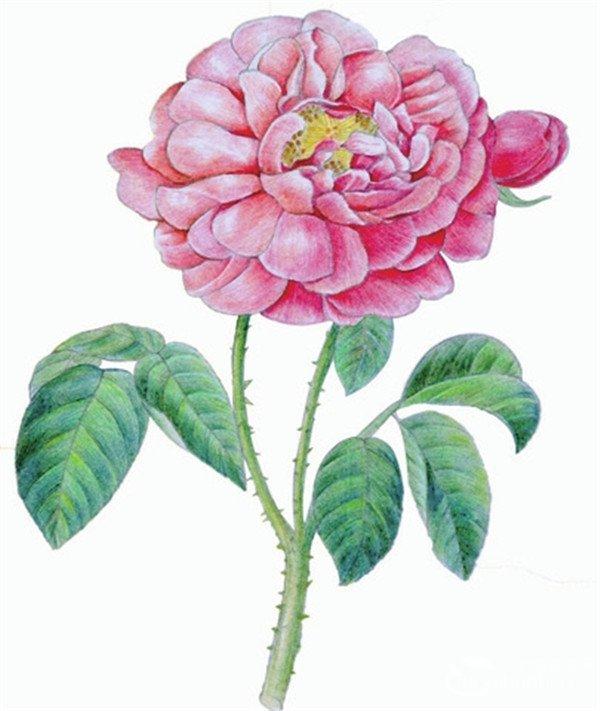 水粉画玫瑰的绘画技法步骤教程 3