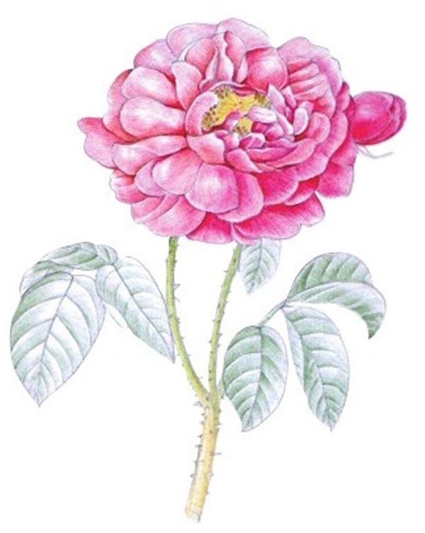 水粉画玫瑰绘画步骤四 4、使用铅笔绘制叶脉以及茎上的刺。  水粉画玫瑰绘画步骤五 5、使用红色为花瓣填充基本色,颜色不用涂得太均匀,适当留白处理。 水粉画玫瑰绘画步骤六 6、使用橘红色和红色深入绘制花瓣颜色,注意每瓣花瓣与其他花瓣的虚实对比。 水粉画玫瑰绘画步骤七 7、结合黄色、黄色和土黄色为花蕊上色,再使用黄色和黄绿色为花茎绘制基本色。水粉玫瑰画上