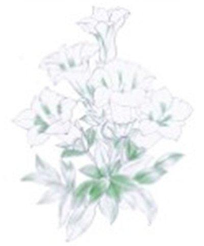 水粉花卉画入门:金鸡菊花的绘画步骤教程(2)