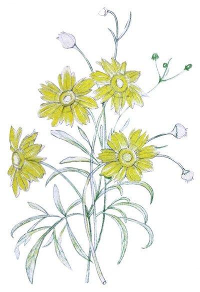 > 水粉花卉画入门:金鸡菊花的绘画步骤教程(5)      4,用黄色初次给
