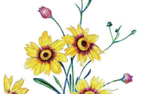 水粉花卉画入门:金鸡菊花的绘画步骤教程