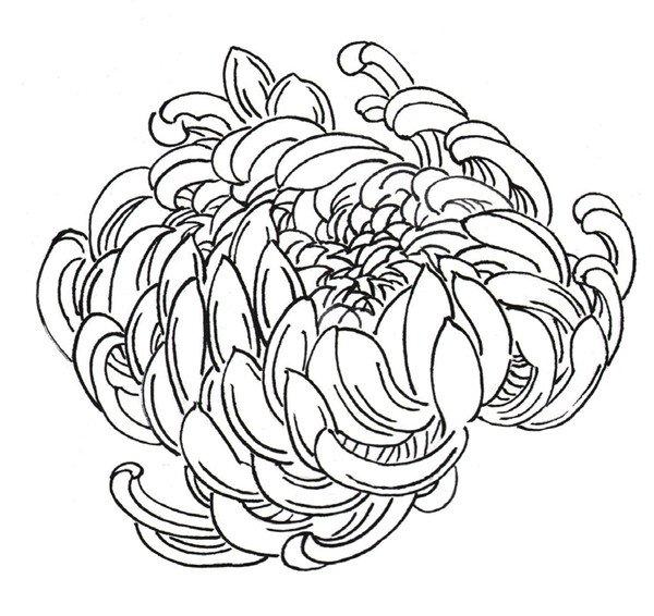 白描菊花的绘画步骤图片