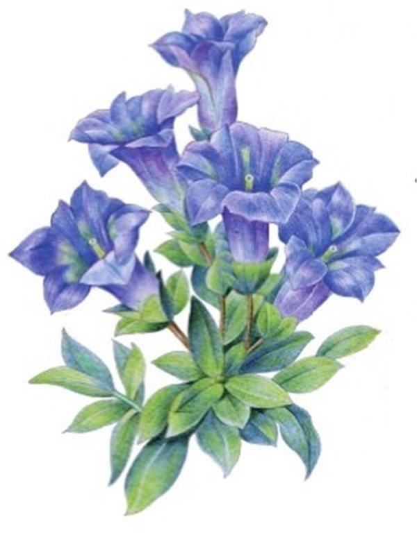 7、加深叶子暗部,使用颜色为绿色。  水粉龙胆绘画步骤七 8、继续绘制叶子,用黄绿色为叶子亮部上色,用绿色加深叶子暗部。  水粉龙胆绘画步骤八 9、调整画面,使用红色为花朵亮部轻描一层颜色,再使用棕色绘制花茎,用绿色和蓝色调整叶子颜色。  水粉龙胆绘画步骤九 在为花朵上色时,中间留白以表现花瓣外翻的特点,一副简单美丽的水粉龙胆画就完成了!大家一起拿起画笔试试看吧!