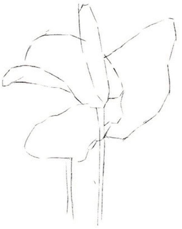 彩铅火鹤花的绘画步骤