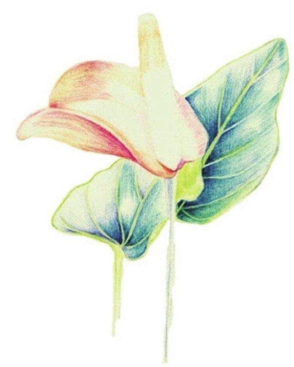 彩铅火鹤花的绘画步骤(2)