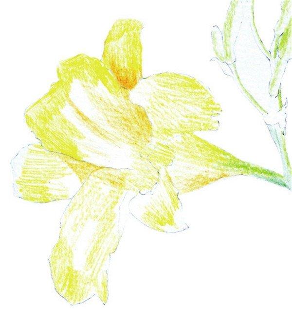 1、用铅笔轻轻勾勒出花的大致外形,注意花朵在画面中的构图。  水粉画萱草绘画步骤一 2、绘制细节,擦除不需要的线条,注意花朵边缘的曲线处理,线条要连贯。  水粉画萱草绘画步骤二 3、使用黄色和土黄色为花瓣上基本色。  水粉画萱草绘画步骤三 4、填充花茎和花苞基本色,使用黄绿色,用细小的笔触先由内往外排线,中间高光部分留白。  水粉画萱草绘画步骤四