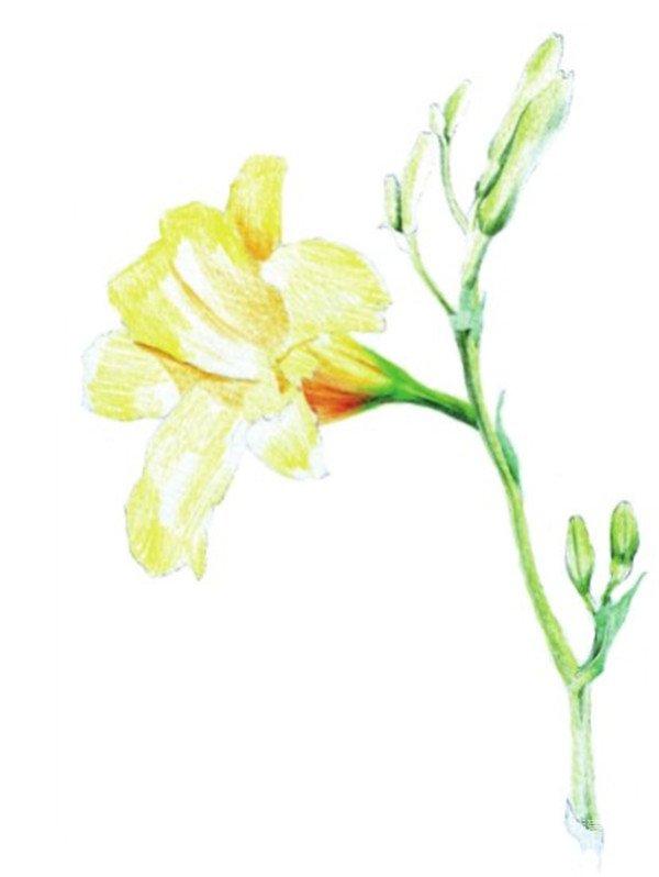 水粉画花卉入门:萱草的绘画步骤教程(5)