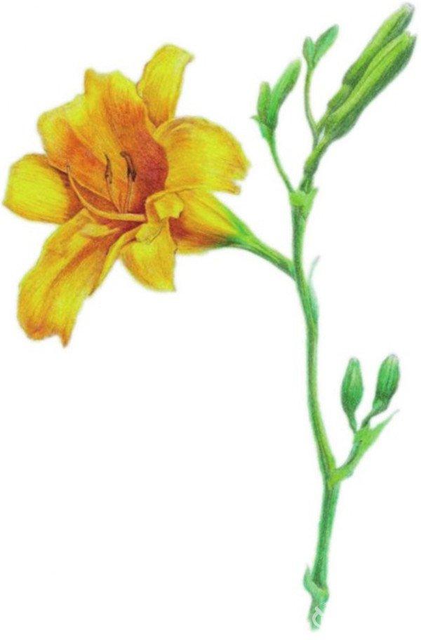 """10、使用棕色和暗红色加深花蕊和花朵暗部,协调花朵色调。  水粉画萱草绘画步骤十 11、调整画面得到一朵绽放的萱草。  水粉画萱草绘画步骤十一 萱草在中国有几千年栽培历史,萱草又名谖草,谖就是""""忘""""的意思。"""