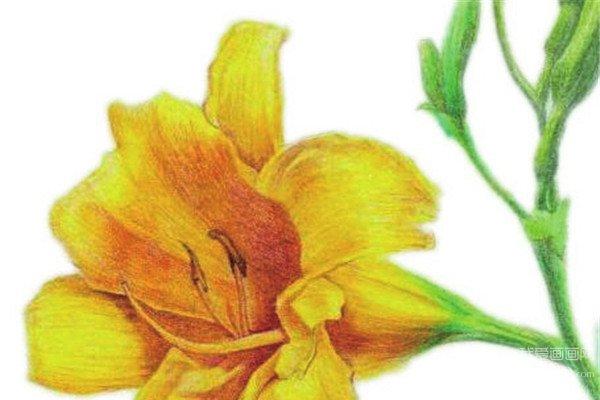 水粉画花卉入门:萱草的绘画步骤教程