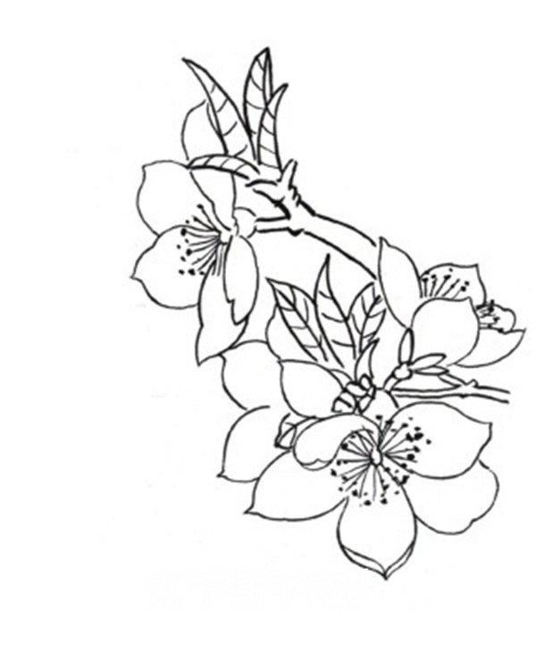 > 杏花蝴蝶白描手法步骤教程(2)      3,花朵组合    4,枝干局部画法