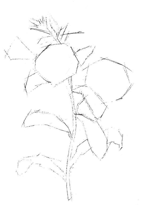 """牵牛花,别名喇叭花、牵牛、朝颜花,为旋花科牵牛属一年生蔓性缠绕草本花卉。牵牛花有个俗名叫""""勤娘子"""",顾名思义,它是一种很勤劳的花。每当公鸡刚啼过头遍,时针还指在""""4""""点左右的地方,绕篱萦架的牵牛花枝头就开出一朵朵喇叭似的花来。分享彩铅牵牛花的"""