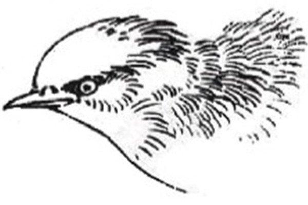 白描禽鸟的绘画教程