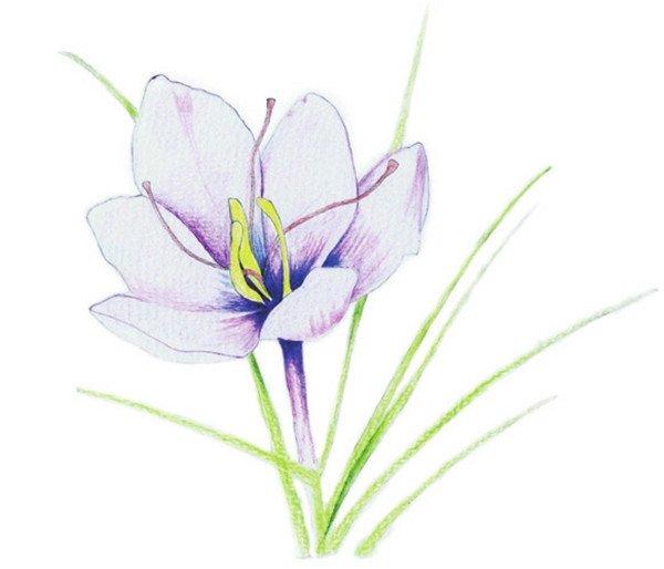 学画画 水粉画教程 水粉静物画 > 水粉画花卉画入门:番红花的绘画步骤