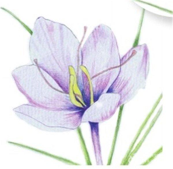 水粉画花卉画入门 番红花的绘画步骤教程 4